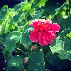Pink Nasturtium